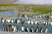 Young king penguins — Stock Photo