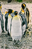 Group of emperor penguins — Foto Stock