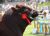 Brown Bull. — Stock Photo