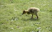 Baby Gosling. — Stock Photo