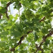 Grape Vine. — Stock Photo