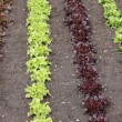 Lettuces in a Garden. — Stock Photo