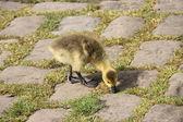 Baby gosling. — Stockfoto