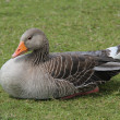 Greylag Goose. — Stock Photo #15467523