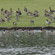 Geese Feeding. — Stock Photo #16199731