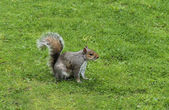 Grey Squirrel. — Stock Photo