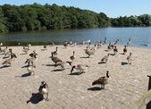 Wild Geese. — Zdjęcie stockowe
