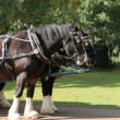 Shire Horses. — Stock Photo