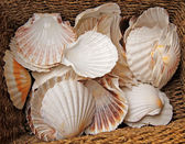Coquilles. — Photo