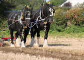 Shire Horses. — Stock Photo