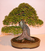 Bonsai Style Miniature Tree. — Stock Photo