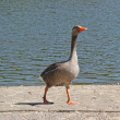 Greylag Goose. — Stock Photo #27153319
