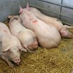 Four Pigs. — Stock Photo