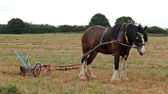 Shire Horse. — Stock Photo