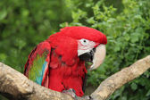 Macaw Bird. — Stock Photo