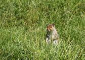 Grey Squirrel. — Stock Photo
