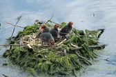 Four Baby Coot Chicks. — Stock Photo