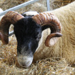 Curled Horned Sheep. — Stock Photo