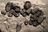 Trilobite Stone Fossil. — Stock Photo