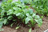 Beetroot Plants. — Stock Photo