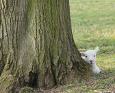 Newly Born Lamb. — Stockfoto