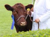 Prize Winning Cow. — Stock Photo
