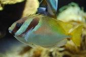 Exóticas de peces bajo el agua — Foto de Stock