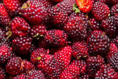 Organic Blackberry berry closeup view background — Stock Photo