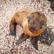 Baby sea lion in the Galapagos Islands staring at you — Stock Photo