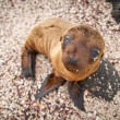 Stock Photo: Baby sea lion in the Galapagos Islands staring at you