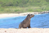 Galapagos baby sea lion close up in the wild — Stock Photo