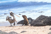 Baby Sea Lion and pelican, Galapagos Islands — Stock Photo