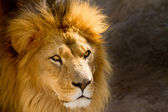 Close Up picture of a male lion staring — Stock Photo