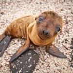 Baby Galapagos sea lion looking at the camera — Stock Photo #12784618