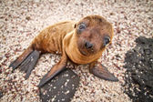 Baby Galapagos sea lion looking at the camera — Stock Photo