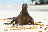 Iguana on the beach — 图库照片