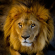 Close-up portrait of a young lion — Stock Photo #12893419