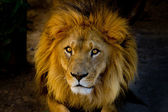 Close-up portrait of a young lion — Stock Photo
