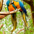 Colorful couple macaws kissing — Stock Photo