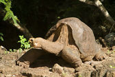 Lonesome George, taken a few days before his death — Stock Photo