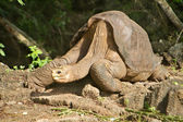 Lonesome George Galapagos, taken a few days before his death — Stock Photo