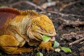 Yelloy orange iguana feeding on vegetables — Stock Photo