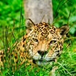 Jaguar staring at you - Stockfoto
