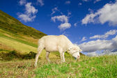 Sheep in a highlands landscape with blue skies — Stock Photo