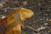 Iguana at the Galapagos Islands — Stock Photo