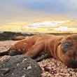 Baby sea lion in the Galapagos Islands resting — Stock Photo