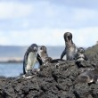 Penguin family in the wild, Galapagos Islands — Stock Photo