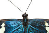 Blue butterfly closeup isolated on white — Stock Photo