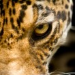 Leopard portrait close up focus on eye — Stock Photo