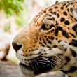 Live Leopard portrait close up side view - Stock Photo